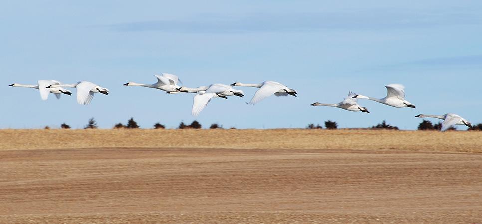 Swans Header